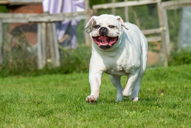 Cachorro bulldog americano de jaleco branco se mexendo na grama