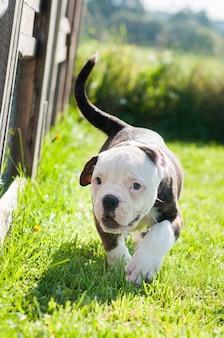 Cachorro bulldog americano vermelho engraçado está se movendo na natureza