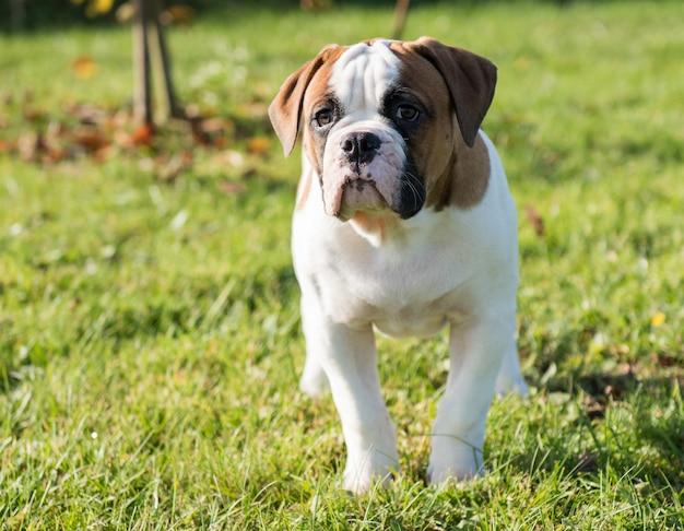 Cachorro bulldog americano vermelho engraçado na natureza