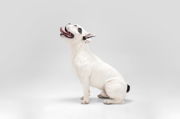 Cachorro bulldog francês posando para cachorro branco e preto brincalhão