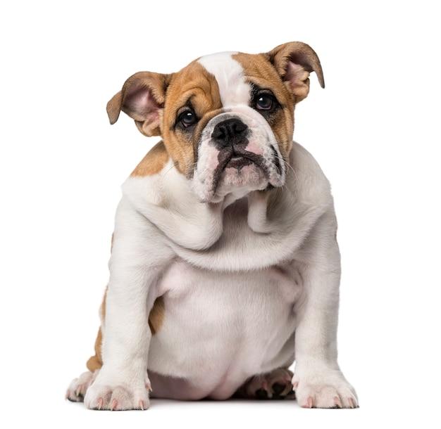 Cachorro bulldog inglês isolado no branco