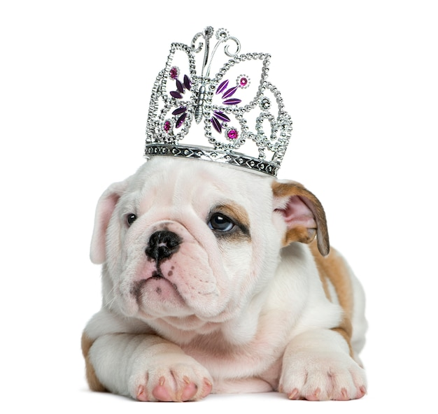 Cachorro bulldog inglês usando um diadema na frente de uma parede branca
