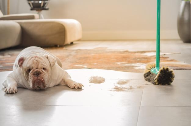 Cachorro bulldog olhando para a terra do chão