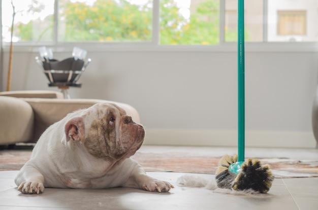 Cachorro bulldog olhando para o esfregão tirando terra do chão
