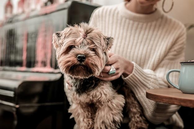 Cachorro calmo e esperto. o cão terrier sentado sobre os joelhos da dona