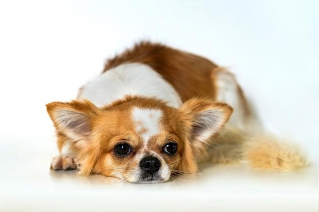Cachorro chihuahua bonito no fundo branco