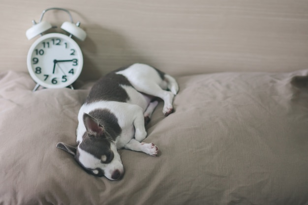 Cachorro chihuahua dorme