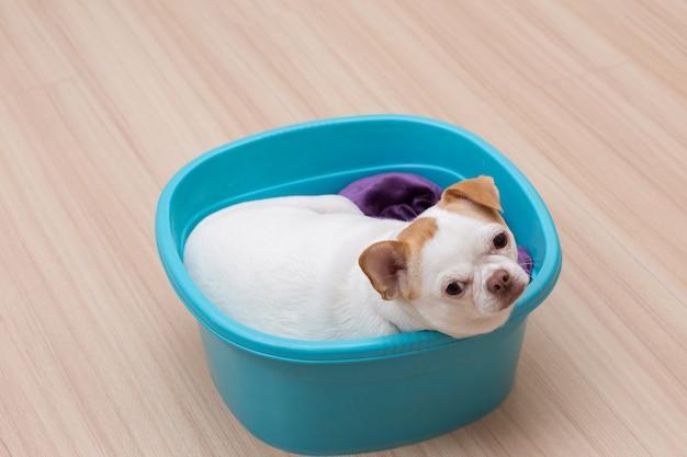 Cachorro chihuahua dormindo no balde