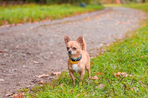 Cachorro chihuahua em uma caminhada no parque. um cachorro pequeno. cachorro brilhante. cor clara. animal de estimação em casa.