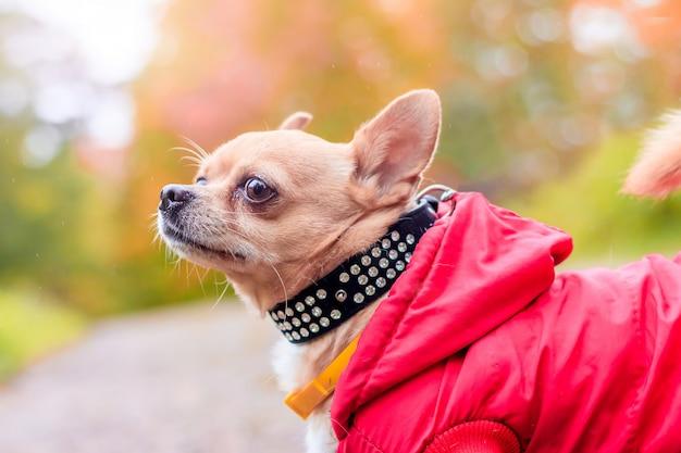 Cachorro chihuahua em uma caminhada no parque.