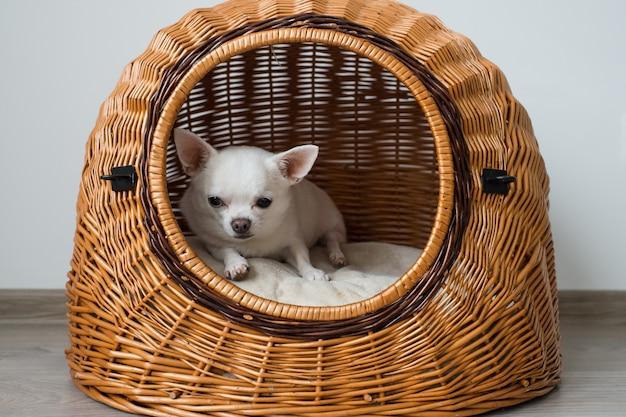 Cachorro chihuahua engraçado deitado na casa de cachorro