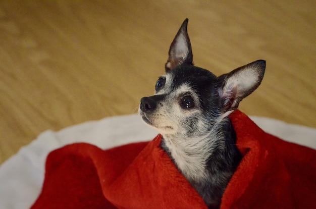 Cachorro chihuahua fofo com olhos tristes coberto por um cobertor vermelho
