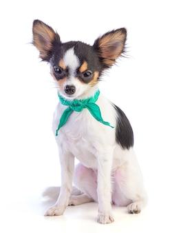 Cachorro chihuahua jovem com um lenço verde em volta do pescoço em uma parede branca