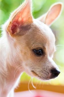 Cachorro chihuahua marrom sarawasi