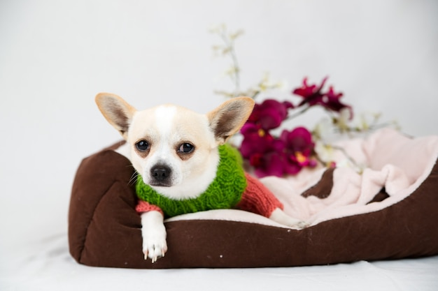 Cachorro chihuahua na cama