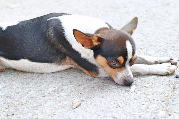 Cachorro chihuahua na estrada