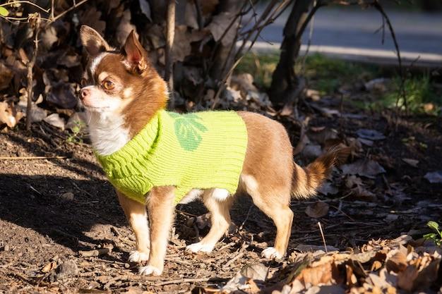 Cachorro chihuahua na grama