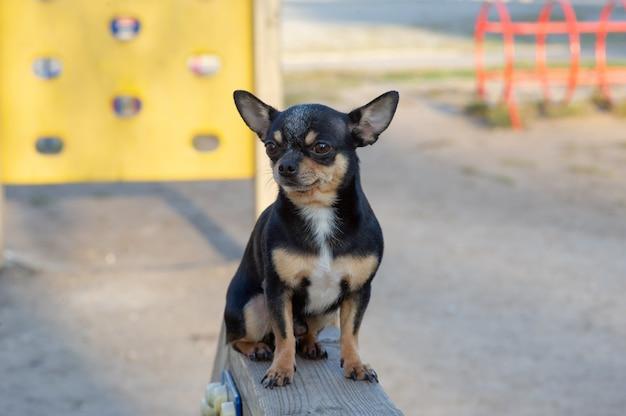 Cachorro chihuahua na rua