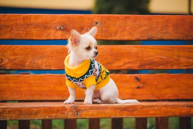 Cachorro chihuahua no banco. animal de estimação doméstico bonito ao ar livre. cachorro chihuahua no parque com roupas.