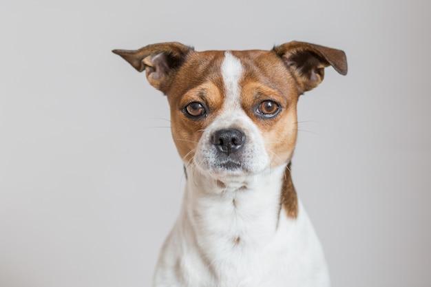 Cachorro chihuahua olhando para a câmera perto do retrato