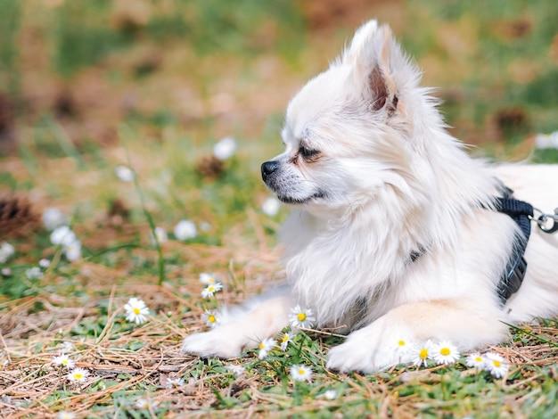 Cachorro chihuahua sentado no chão na floresta com margarida flores