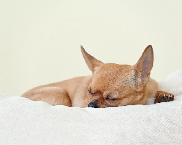 Cachorro chihuahua vermelho dormindo