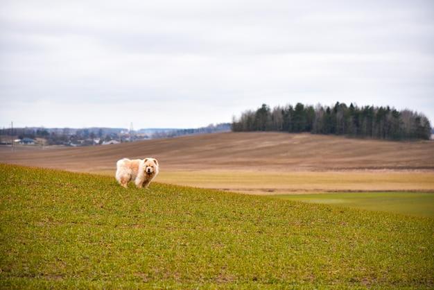 Cachorro chow-chow caminha no campo de primavera