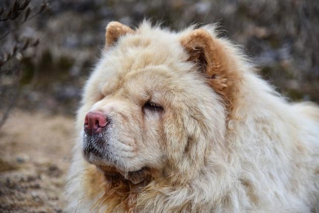 Cachorro chow-chow congela em clima frio