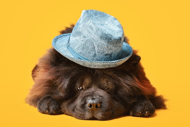 Cachorro chow-chow fofo com chapéu