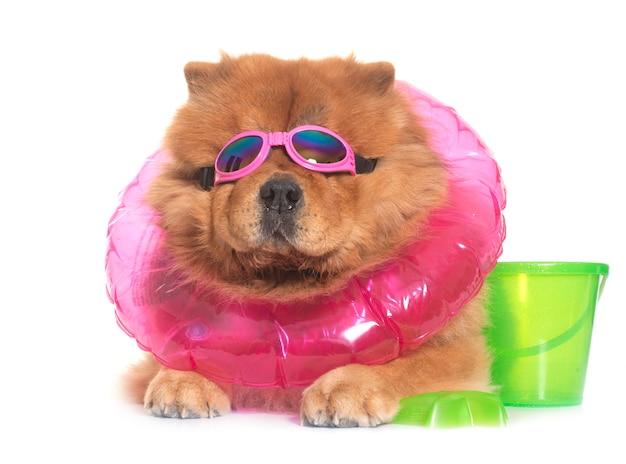 Cachorro chow chow no verão
