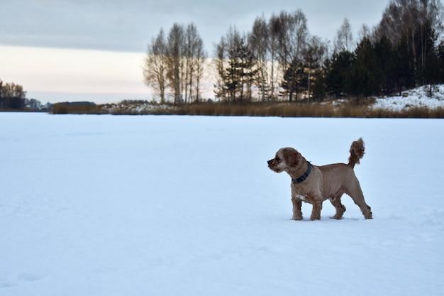 Cachorro cocker spaniel caminha na neve