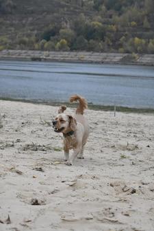 Cachorro cocker spaniel corre ao longo da praia