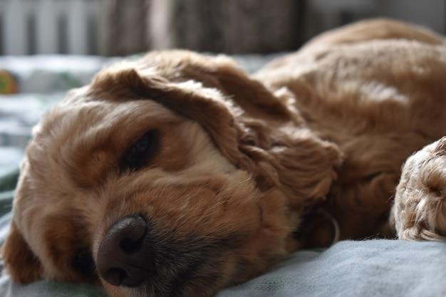 Cachorro cocker spaniel dorme na cama