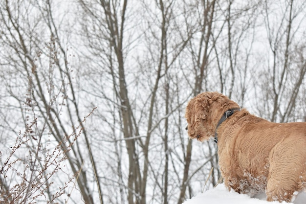Cachorro cocker spaniel na floresta de inverno
