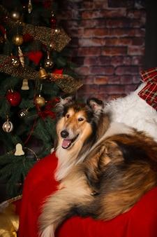 Cachorro collie deitado em uma cadeira contra o fundo de uma árvore de ano novo