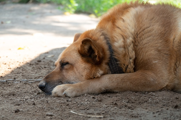 Cachorro com cara triste. fêmea de pastor australiano triste deitada na terra. olhos tristes de cachorro.