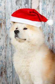 Cachorro com chapéu de natal na parede de madeira, akita inu