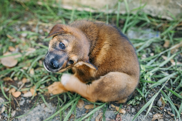 Cachorro com coceira tenta coçar a pele conceito para peles de animais de estimação problema de saúde causado por pulga parasita