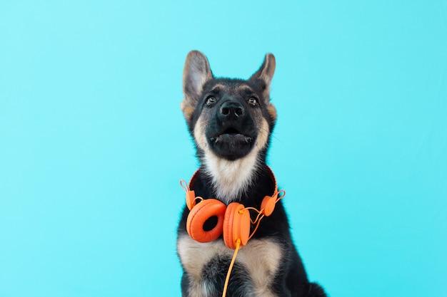 Cachorro com fones de ouvido laranja, superfície azul isolada