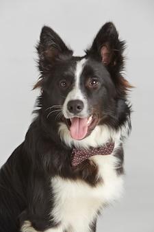 Cachorro com gravata borboleta