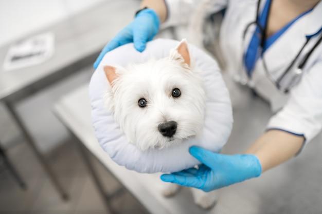 Cachorro com medo. cachorrinho branco fofo de olhos escuros com medo de visitar o veterinário pela manhã