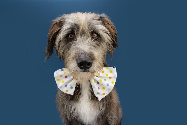 Cachorro comemorando carnaval, aniversário ou aniversário usando uma gravata borboleta de bolinhas corolful