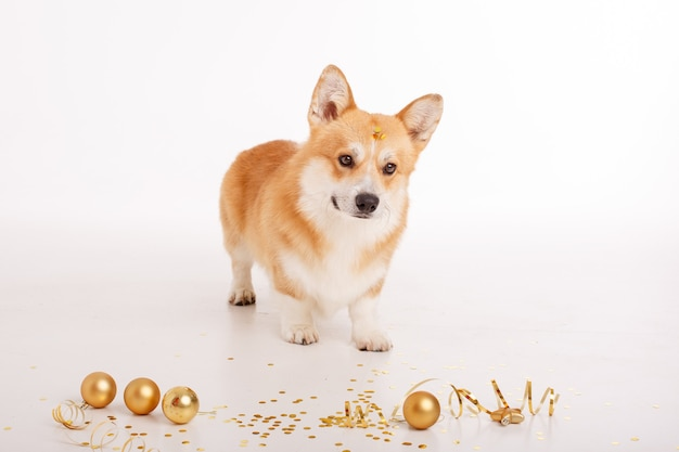 Cachorro corgi em branco comemora ano novo, natal