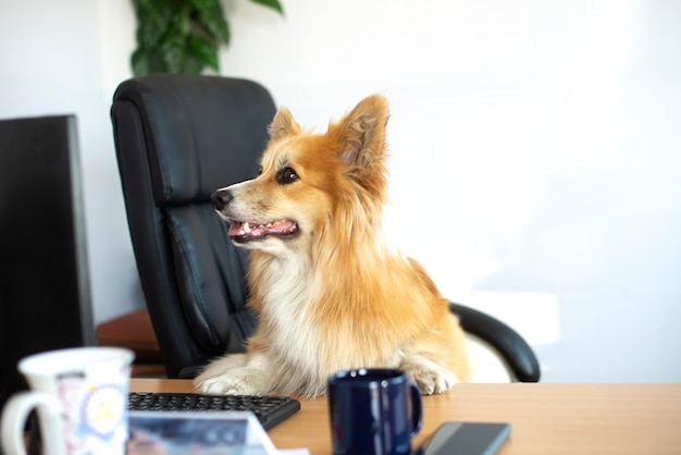 Cachorro corgi engraçado fofo sentado em uma cadeira e trabalhando em um computador no escritório na mesa