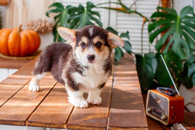 Cachorro corgi está na mesa de madeira perto do rádio