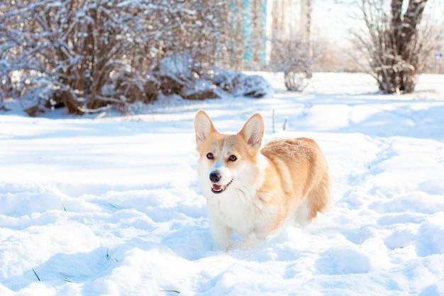 Cachorro corgi passeando na neve do inverno