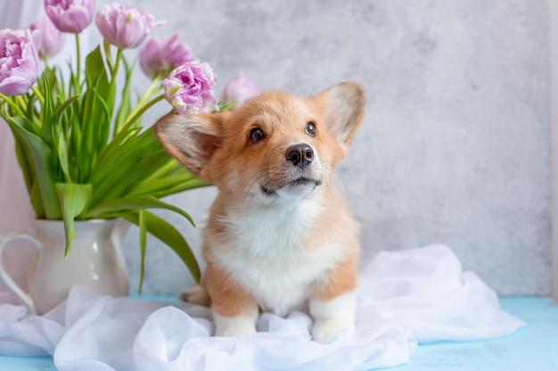 Cachorro corgi perto de buquês de tulipas