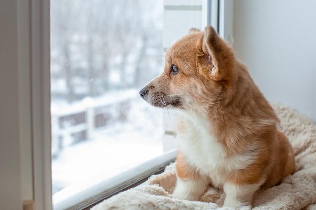 Cachorro corgi sentado na janela olhando pela janela