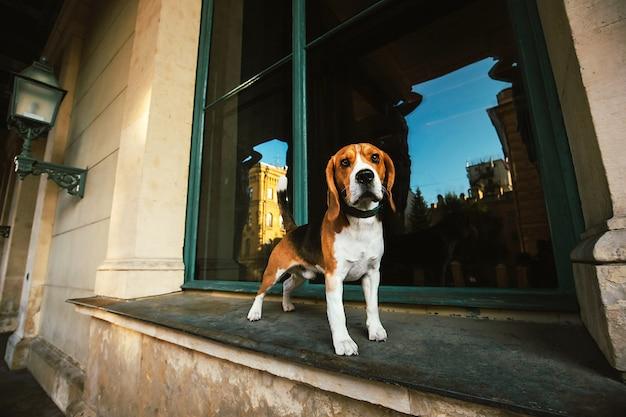 Cachorro curioso engraçado parado no peitoril da janela olhando para a câmera