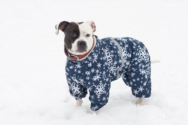 Cachorro da amstaff posando na neve do inverno